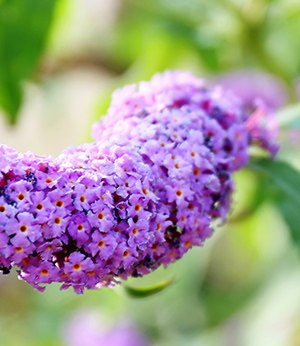 Summer lilac organic extract