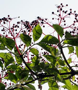 Elderberry organic extract