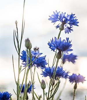 Organic cornflower extract
