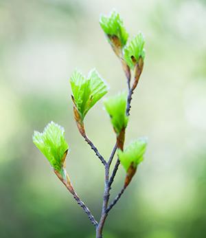 Organic beech bud extract