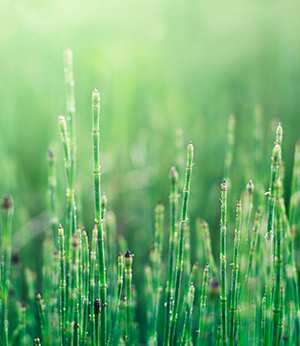 Organic horsetail extract