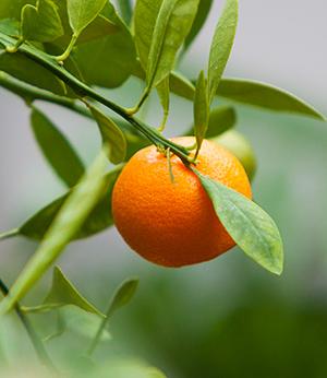 Extrait de zeste de mandarine