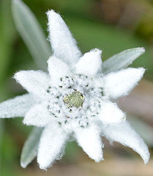 Organic edelweiss extract