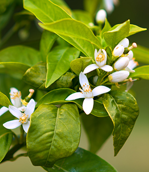 Orange blossom hydrolate
